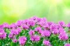 Benefits and Uses of Wild Bergamot