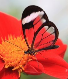 Clearwing Butterfly (Oleria rubescens)