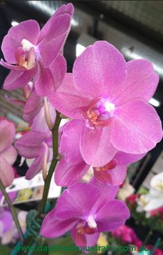 Growing Orchids Indoors as Houseplants