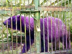 Real - Look at this strange animal, and Yes that is a purple polar bear believe it or not! This usually white polar bear created quite the buzz about the Mendoza City Zoo in Argentina when it unexpectedly turned purple. It seams that the polar bear named Pelusa had a skin condition that the zoo officials were trying to treat, and as a result of the special treatment of this condition the polar bear turned purple.  The purple color only lasted for a little while..previous pinner