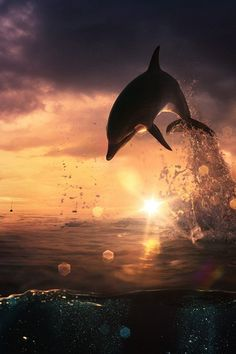 Dolphin playing at Sunset!