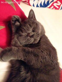 Спящая британская кошечка