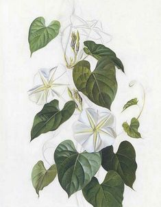 botanic drawing image moonflower and vine - Yahoo Image Search Results Plant Illustration, Botanical Illustration, Moon Flower Plant, Moonflower Vine, Left Arm Tattoos, Night Blooming Flowers, Flower Tattoo Drawings, Plant Tattoo, Plant Drawing