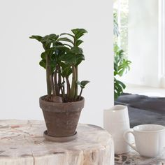 Check out our easy-care, pet-friendly, low-light and unusual houseplants. Find the perfect potted plant! Peperomia Plant, Pothos Plant, Big Leaves, Green Leaves, Growing Succulents, Planting Flowers, Big Indoor Plants, Zz Plant, Easy Care Plants
