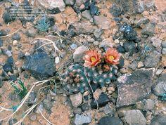 Pediocactus_Cactaceae_Section_Rhytidospermae_Pediocactus_bradyi_subsp._despainii_fh_0100_UT_AA