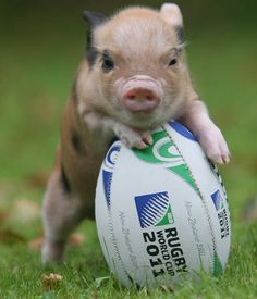 aww a cute little rugby pig Baby Animals, Funny Animals, Cute Animals, Animal Pictures, Cute Pictures, Teacup Pigs, Mini Pigs, Cute Piggies, Baby Pigs