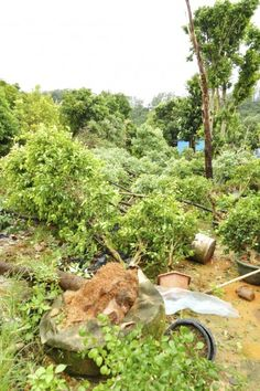 Hurricane Damaged Plants And Gardens: Saving Plants Damaged By Hurricane