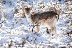 magicalnaturetour:Fallow Deer in Snow World by thrumyeye