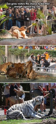 Tiger-o-war…Zoo gives visitors a chance against the tigers! How cool would this be!?