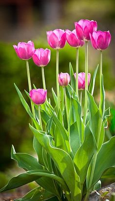 El rosa:Tulipanes