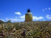 The big Pineapple in Bathurst :)