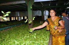 Tea Factory a Kandy - Photo Credit: Francesca Spanò
