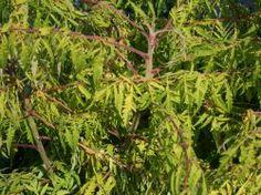 für Kübel? gelbgrüner Essigbaum / Hirschkolben-Sumach - Rhus typhina 'Tiger Eyes'