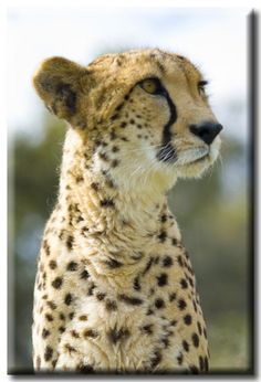 The Ann van Dyk Cheetah Centre, formerly known as the De Wildt Cheetah Centre, is a breeding sanctuary for cheetahs and other endangered animals. It was founded in 1971 by conservationist Ann van Dyk and is situated in Hartbeespoort, in the foothills of the Magaliesberg, about one hour's drive from Johannesburg. If you appreciate game reserves in Gauteng then aday trip to the centre is well worth the drive, especially if you're interested in getting to know more about thi...