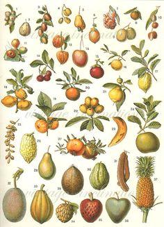 Antique Print, Large French Fruits chart 1900 wall art vintage color lithograph illustration botanical fruit print on Etsy, £27.05