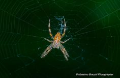https://flic.kr/p/y5ieSy | Nymphalidae | Neoscona adianta - flash in the evening.