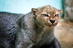 Jaguarundi Cat...