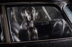 """2010, London, England, """"MUTE: The Silence of Dogs in Cars"""" (series);   photographer:  Martin Usborne"""