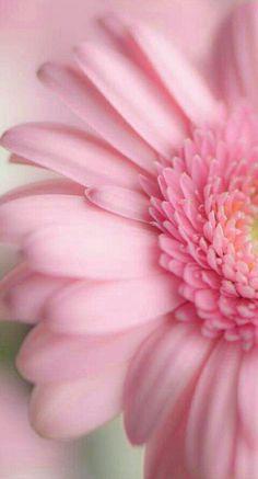 54 Ideas For Wallpaper Flores Nature Pink Roses Pink Wallpaper, Iphone Wallpaper, Wallpaper Wallpapers, Nature Wallpaper, Pretty Flowers, Pink Flowers, Pink Gerbera, Pink Daisy, Pink Petals