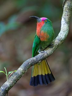 Red-bearded Bee-eater is a large species of bee-eater found in the Indo-Malayan subregion of Soith-east Asia. This species is found in openings in patches of dense forest