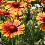 Flores Perenes