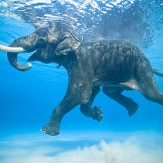 """Rajan is one of the few salt water swimming elephants on Earth. He lives in the Andaman Islands with his mahout, or caretaker. He and many others were once employed to swim logs from the outer islands for the logging industry. He is now the only survivor of that group."" ~photo by Jody MacDonald"