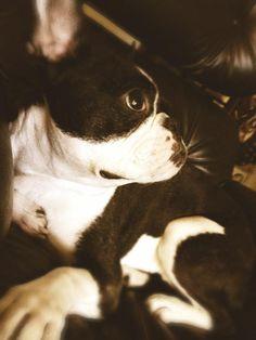 Beautiful!! Boston Terrier
