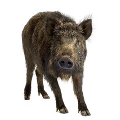 Find Wild Boar Front White Background stock images in HD and millions of other royalty-free stock photos, illustrations and vectors in the Shutterstock collection. Boar Hunting, Red Eared Slider, My Home Design, Wild Boar, Great Pictures, Wildlife, Central Texas, Stock Photos, Pigs