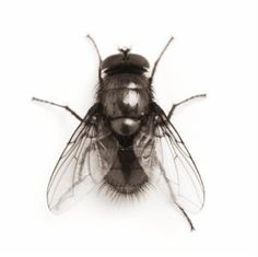 This page contains fly repellent recipes. With summer comes open doors and windows and more flies. Find recipes and techniques to safely shoo those flies away.