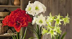 Amaryllis and paperwhites don't need chilling.  Tulips, Crocus, Hyacinths, & Daffodils do. Most need chilling at 35-45 degrees for around 15 weeks.  Nice chart of exact times on this site.