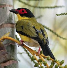 male figbird The figbirds are a genus of orioles found in wooded habitats in Australia, Papua New Guinea and the Lesser Sundas. The three species have been considered conspecific, but today all major authorities consider them as separate species.