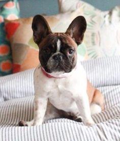 Handsome French Bulldog.