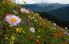 Wildflowers at Idaho Peak, Selkirk Mountatins photographed by David R. Gluns - British Columbia Magazine - Photo Gallery - Kootenay photo gallery