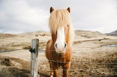 The Icelandic horse breed is known to be hardy and an easy keeper. It is strong and powerful, yet friendly and manageable. You can meet the horses around Iceland, when travelling around the country side. A ride on horse back will be a great way to experience the magnificent landscape.