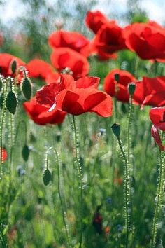Red corn poppies - blooming RIGHT NOW in my back yard...Surprise!