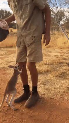 GIF I'm tired, can I go to the basket? Joey Kangaroo, Kangaroo Baby, Kangaroos, Cute Babies, Small Animals, Wild Animals, Farm Animals, Animals And Pets, Cute Funny Animals