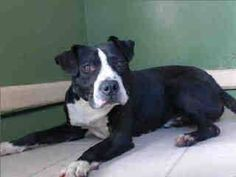 GONE --- #A4779686 I'm an approximately 4 year old male pit bull. I am not yet neutered. I have been at the Carson Animal Care Center since November 26, 2014. I will be available on December 1, 2014. You can visit me at my temporary home at C140.    Carson Shelter, Gardena, California https://www.facebook.com/171850219654287/photos/pb.171850219654287.-2207520000.1417039344./336691139836860/?type=3&theater