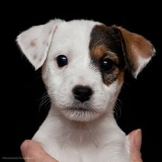 Just who could resist the face of this little Jack Russell Terrier?