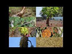 Medicinal Rice P5N Formulations for Areca Excess: Pankaj Oudhia's Medici...