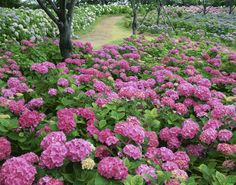 Hydrangeas are typically easy to propagate from cuttings. This saves gardeners money while producing showy blooms.