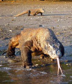 Predators and Prey, Komodo Monitors on the hunt Reptiles Et Amphibiens, Mammals, Animals Beautiful, Cute Animals, Big Lizard, Monitor Lizard, Komodo Dragons, Crocodiles, All Gods Creatures