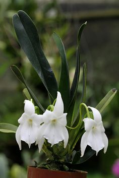 Angraecum magdalenae - Flickr - Photo Sharing!