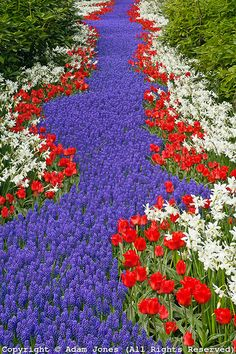 Pathway of Grape Hyacinth, Tulips, and daffodils through wooded garden, Keukenhof Gardens; Lisse; Netherlands