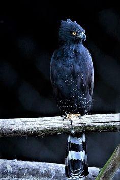 Blackhawk Eagle
