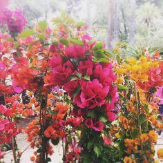 #flowers #fiori #bouganville #minerva #mostra #gardens #ungiardinoincittà #vorreichefossesemprecosì #villa #spring #colors #instaflowers #instacolors #instalike #garden_styles #garden_explorers #gardenlife #gardenofinstagram #flower_special_ #flower_perfection #flowersofinstagram #flowerstagram #flowery #flowerslovers #flowerphotography #like4like #likeforfollow #likeforlike #likes #likesforlikes