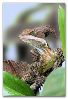 Basiliscus basiliscus: Photo by Photographer Jim Hoffman