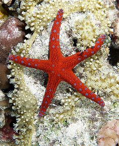 Nice seastar taken on night dive at Ras Caty