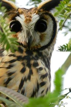 """""""Arsinoe"""" named for Queen Arsinoe in the book series """"Three Dark Crowns"""" by Kendare Blake. Striped Owl (Asio clamator) Adult perched in a tree Amazing Animal Pictures, Funny Animal Pictures, Owl Bird, Pet Birds, Elf Owl, Grand Duc, Owl Books, Owl Eyes, Owl Photos"""