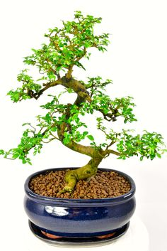 This is the bonsai you will receive! This is agreat representaion of an english woodland tree. A beautiful character bonsai with a gnarly appearance and lovely exposed roots.The S-Shaped trunk is superb and the overall canopy is very pretty.The Chinese Elm (Ulmus parvifolia) is great for beginners and this one is potted into a very pretty midnight blue pot.Choose your delivery date at the checkout. Supplied with matching ceramic drip tray.Free next working day delivery is available to most…