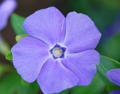 Lesser periwinkle Vinca minor 'La Grave'. This is SO pretty and dainty. I love the happy shape and the lovely colour. Flowers April to September.